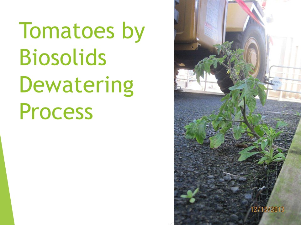 Tomatoes by Biosolids Dewatering Process